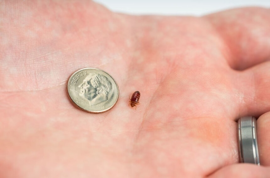 How to Find Bed Bugs During the Day? Super Easy Ways!