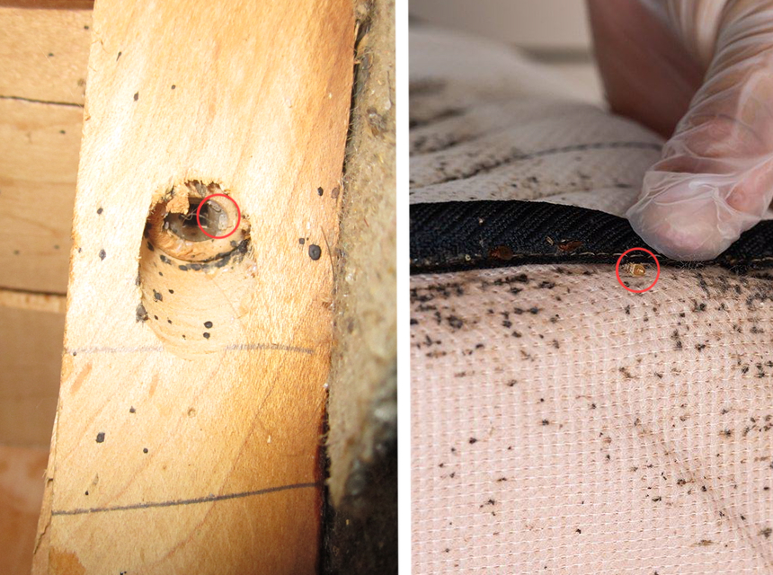 Everything about Bed Bug Shells: The Fist Sign of Bed Bugs